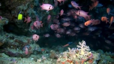 School of grouper fish sea bass big eyes underwater on seabed in Maldives.
