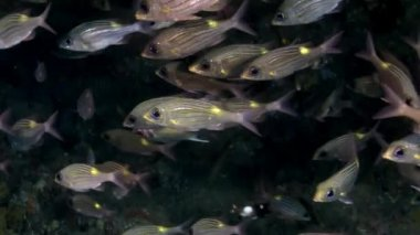 School of striped fish underwater on background of amazing seabed in Maldives.