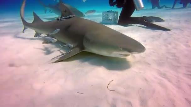 Diver tames Bull shark underwater on sandy bottom of Tiger Beach Bahamas.