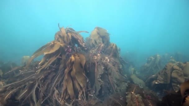 Giant seaweed kelp underwater in reflection of sunlight of Barents Sea Russia.
