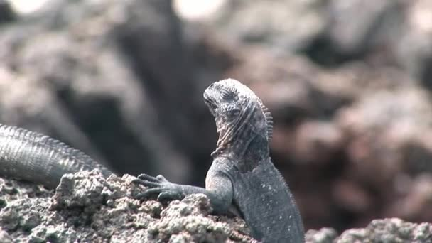 Guana on rocky coast of Galapagos Islands.