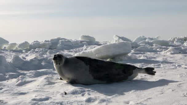Matka skvělá novorozence Seal Pup na ledová pole