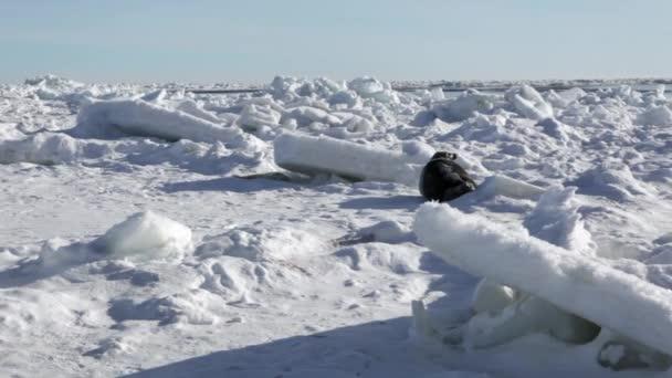 Anya aranyos újszülött Seal Pup a jég mezők.