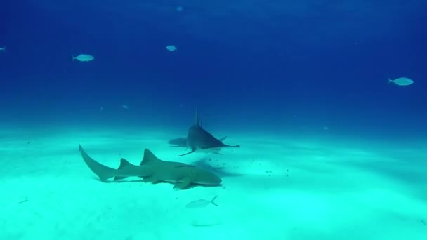 Bull Shark and Hammerhead with divers underwater on sand of Tiger Beach Bahamas.