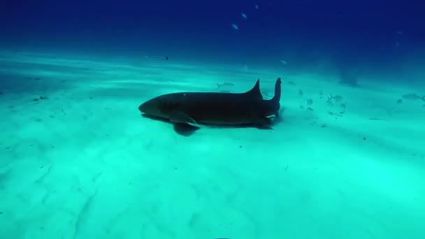 Bull Shark with divers underwater of Tiger Beach Bahamas.