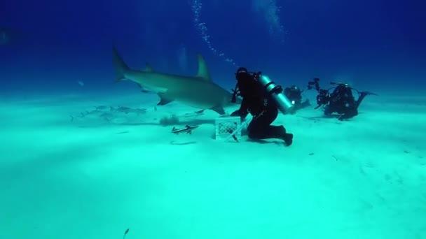 Diver feeds Hammerhead Shark underwater on sandy bottom of Tiger Beach Bahamas.