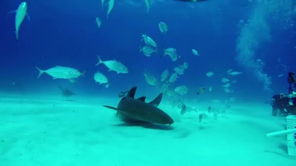 Divers with Bull Shark with underwater on sandy bottom of Tiger Beach Bahamas.