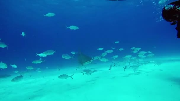 Búvár hírcsatornák Hammerhead Shark víz alatti homokos alján tigris Beach Bahama-szigetek.