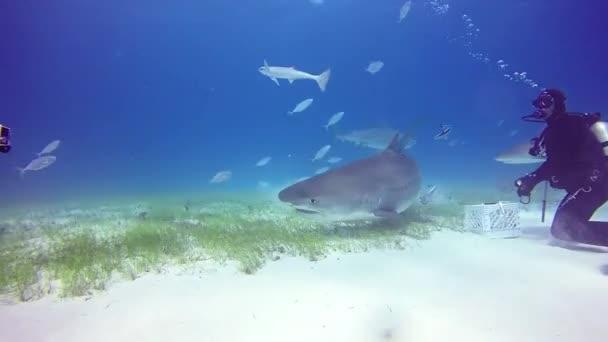 Cápa búvárkodás a Bahama-szigetek.