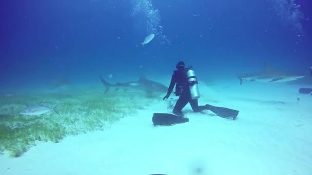 Big Bull Shark with divers underwater on sandy bottom of Tiger Beach Bahamas.