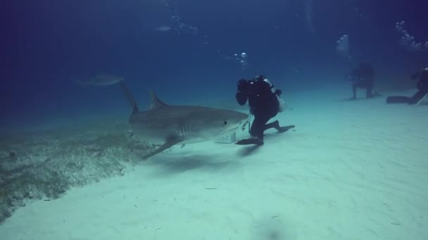 Búvárkodás a cápa víz, homokos alján tigris Beach Bahama-szigetek.