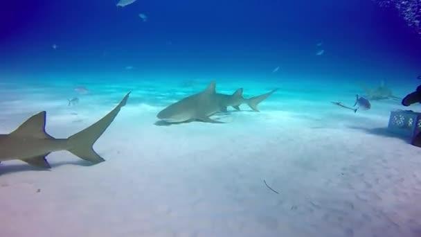 Búvár tames bika cápa víz alatti homokos alján tigris Beach Bahama-szigetek.