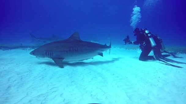 Big Shark with divers underwater on sandy bottom of Tiger Beach Bahamas.
