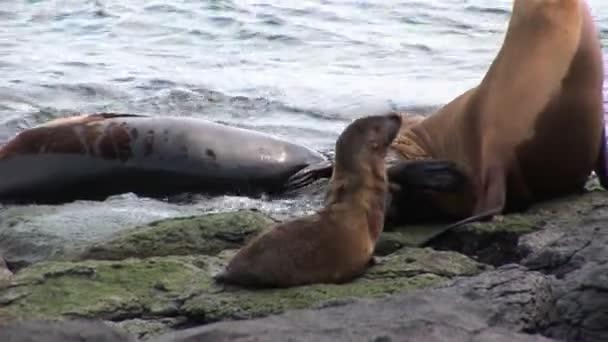 Családi pecsét kis baba pihenhetnek a strand közelében a víz, a Galapagos-szigetek.