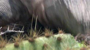 Iguana eats cactus close-up on rocky coast of Galapagos Islands.