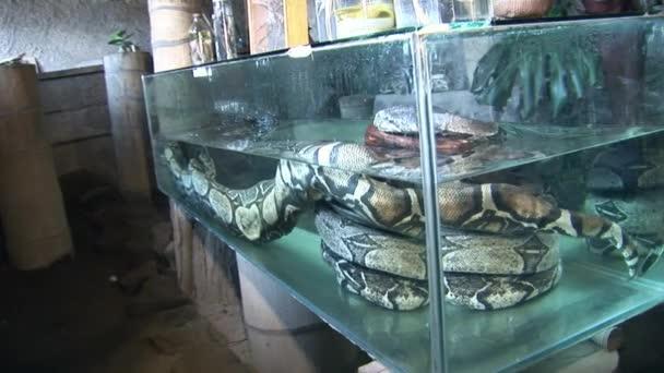 Huge python in aquarium water.