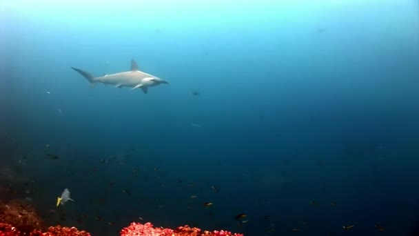 Hammerhead Shark Hammer predator underwater in search of food on seabed.