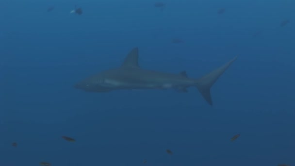 Galapagos Shark amazing predator underwater in search of food on seabed.