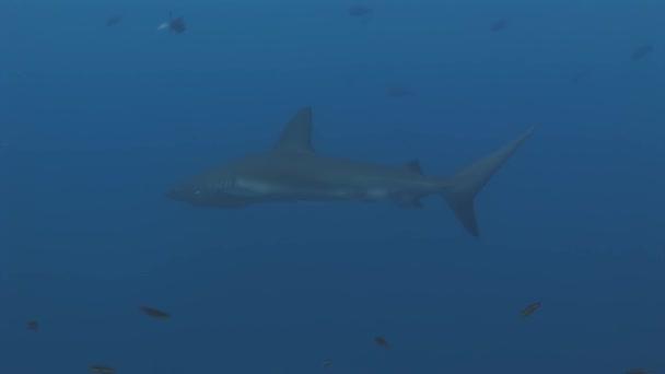 Galapagos cápa csodálatos ragadozó víz alatti a tengerfenék élelmet keresve.
