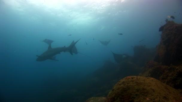 Manta Rochen Rampenfische und Haie unter Wasser vor dem Hintergrund des Meeresbodens in Galapagos.