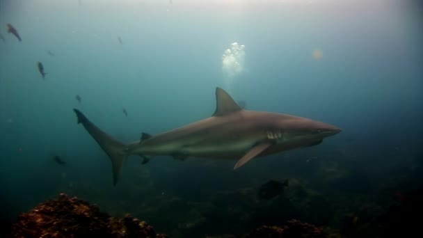 Galapagos Shark amazing predator and diver underwater on seabed.