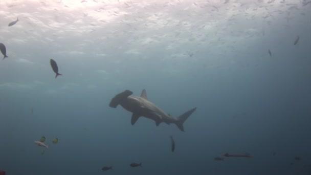Hammerhai Hammerraubtier unter Wasser auf der Suche nach Nahrung auf dem Meeresboden.