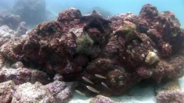 Starfish group on seabed in Galapagos.