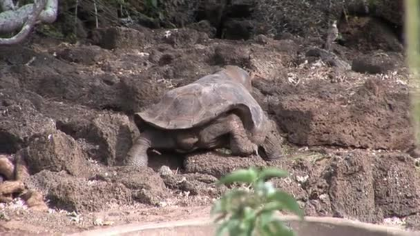 Lonely George is world famous tortoise turtle which is 400 years old in Galapagos.