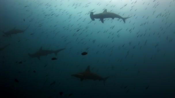 Hammerhead Shark kalapács ragadozó víz alatti a tengerfenék élelmet keresve.