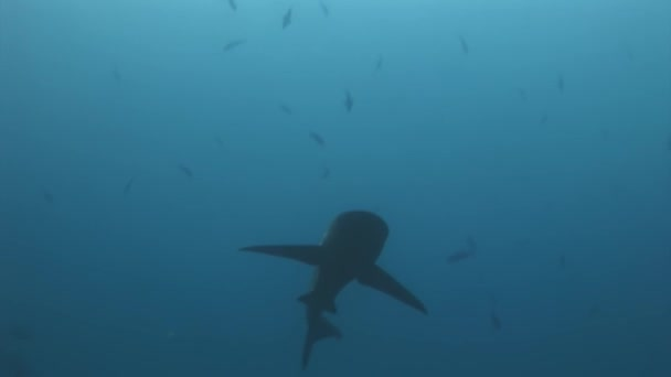 Galapagos-Hai erstaunliche Raubtier unter Wasser auf der Suche nach Nahrung auf dem Meeresboden.
