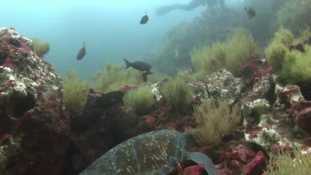 Tengeri teknős Vértes makró Galápagos tiszta tiszta víz-víz alatti videó.