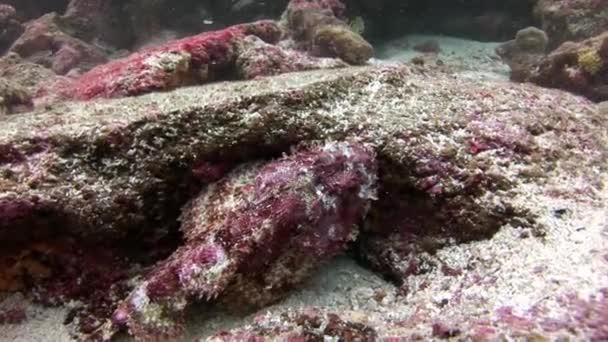 Fish Stone underwater in Galapagos.