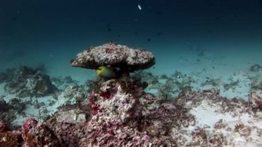 Beautiful amazing fish underwater on background of seabed in Maldives.