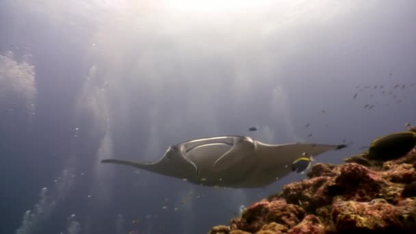Giant Manta ray ramp fish on background of sun reflection underwater Maldives.