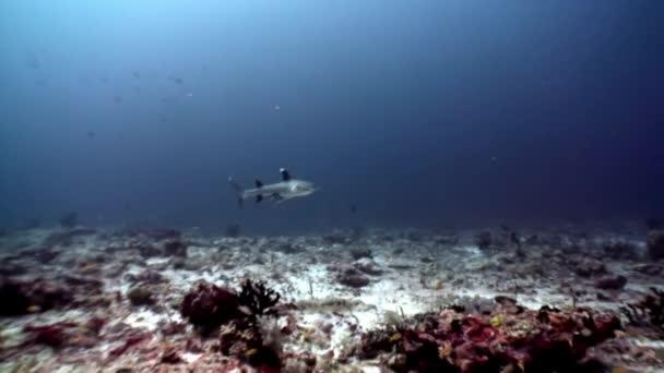 Szirtcápa víz alatti, háttérben a nap gondolkodási tengerfenék Maldív-szigetek.