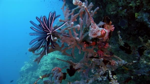 Motley Sea lily Crinoidea class of echinoderms underwater on seabed in Maldives.