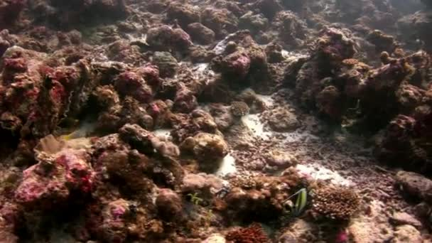 Coral reef underwater amazing seabed in Maldives.
