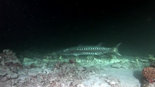 Barracuda ling sea pike fish underwater on background of seabed in Maldives.