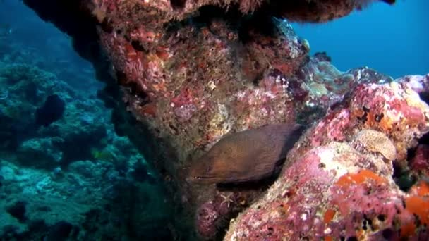 Moray eel and diver underwater on coral reef seabed in Maldives.