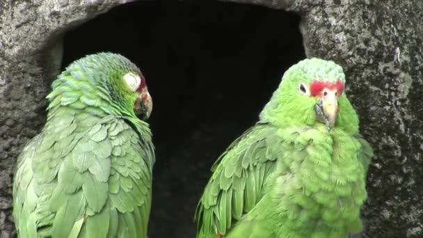 Zelený papoušek Loras ptáci na vodě Galapágy.