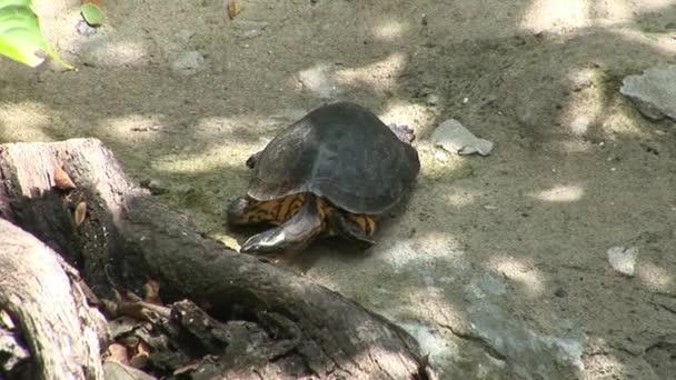 Turtle in Galapagos.