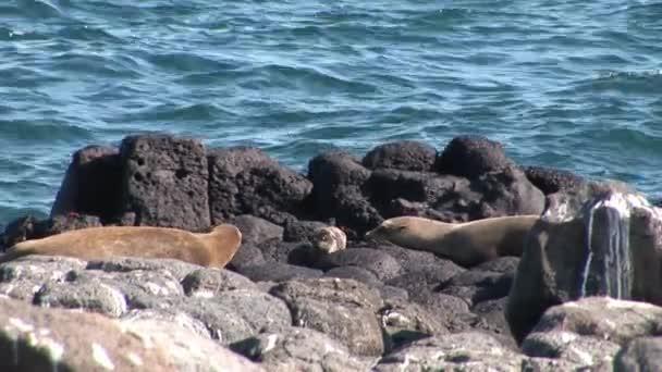 Odpočiňte si na pláži Galapagos rodina pečeť s malé novorozeně mláďat