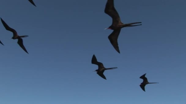 Frigate bird fly in sky over Galapagos Islands.