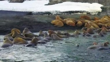 Walruses on background of desert shores Arctic Ocean aero view on New Earth.