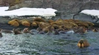 Walruses on background of snow desert shores Arctic aero view on New Earth.