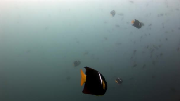 Butterfly fish underwater in Galapagos.