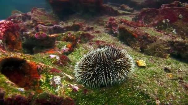 Sea urchin on seabed of natural sea aquarium in Galapagos