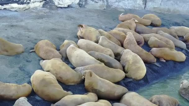 Group of walruses on coastand wter of Arctic Ocean aero view on New Earth.