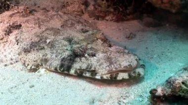 Crocodile fish carpet flathead underwater Red sea.