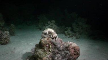 White Octopus Aeginae disguised on sandy bottom underwater Red sea.